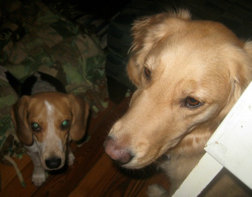 Ginny the foster dog with Honey the golden retriever.