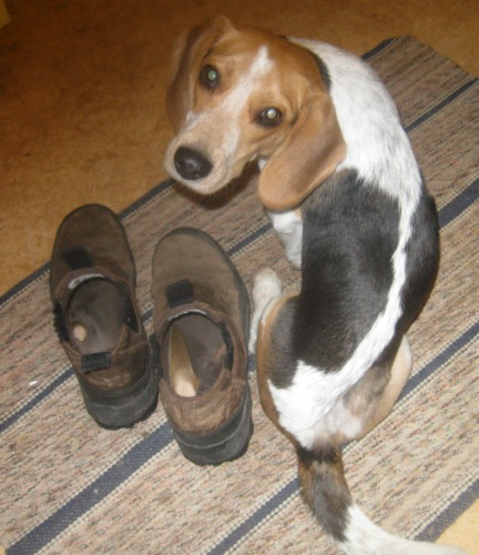 Ginny the foster dog is as small as a boot.