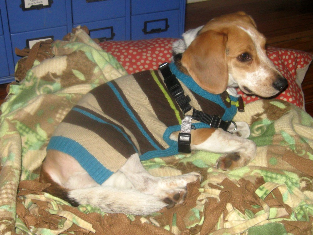 Ginny is a beagle mix foster dog from the SPCA.