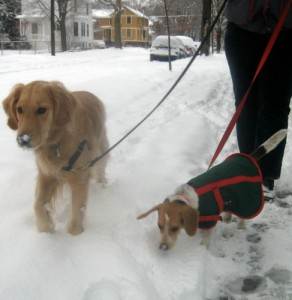 Honey the golden retriever and Ginny the foster dog walk in the snow.