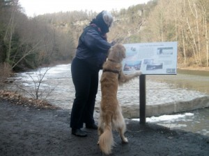 Honey the golden retriever walks at Taughannock.