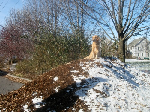 Honey the golden retriever poses on a hill of mulch.