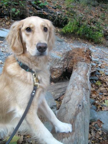 Honey the golden retriever jumps up on a log on a walk.