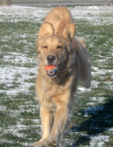 Honey the golden retriever is giving her ball as a gift.