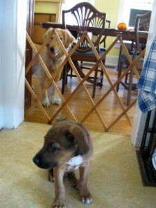 Dog separated from puppy by a baby gate in the doorway danger zone.