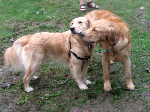 Honey the golden retriever is tired of the attention.