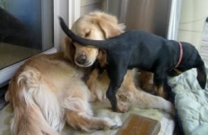 Honey the golden retrievers makes allowances for a foster puppy.