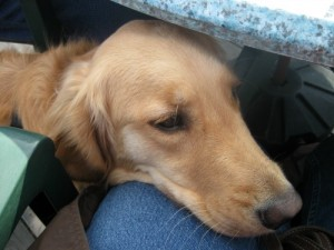 Honey the golden retriever uses her voice to ask for food..