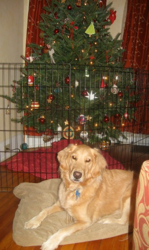 Honey the golden retriever with her Christmas tree.