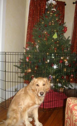 Honey the golden retriever and a Christmas tree.