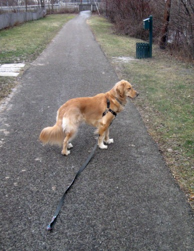 Honey the golden retriever waits with her leash dangling.