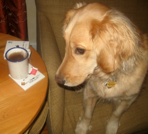 Honey the Golden Retriever admires Bad Dog coasters from UncommonGoods.