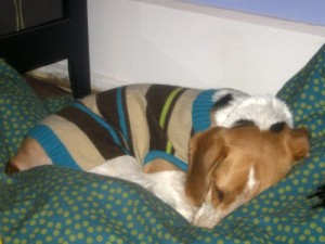 Ginny the foster dog sleeps pretty.