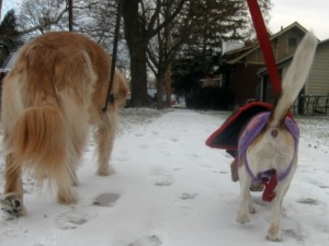 Honey the golden retriever and Ginny the foster dog go for a walk.