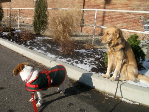 Honey the Golden Retriever and Ginny the foster beagle look to cause trouble.