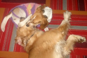 Honey the golden retriever shows me how to keep calm when dealing with a nuisance.