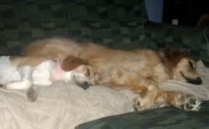 Honey the golden retriever will keep calm even when sleeping.