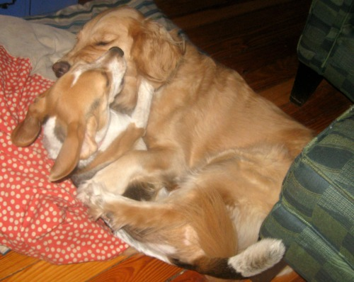 Ginny the foster dog plays with Honey the golden retriever.