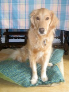 Honey the golden retriever helps with foster dogs.