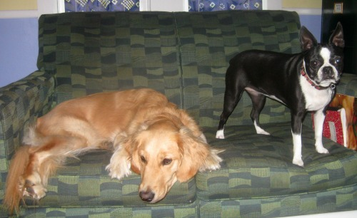 Honey the Golden Retriever sits with a Boston terrier friend.