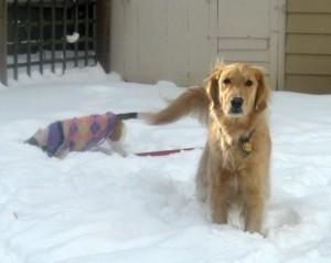 Honey the golden retriever thinks some dogs are jerks.