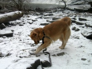 Honey the golden retriever finds a stick in the snow.