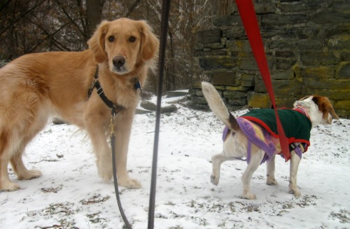 Honey the golden retriever looks back while Ginny the foster dog looks forward.