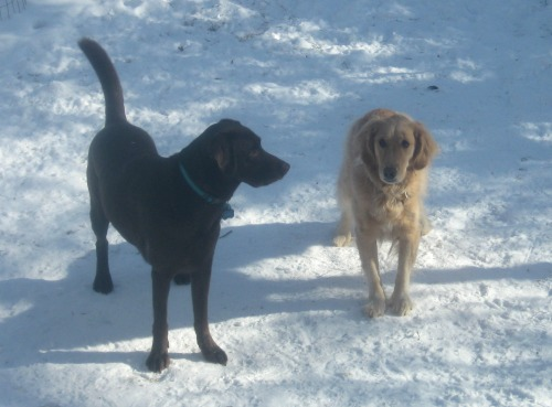 Mr. Handsome the chocolate lab and Honey the golden retriever know the value of matching the treat to the trick.