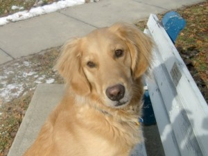Honey the Golden Retriever asks how anyone could make her better.