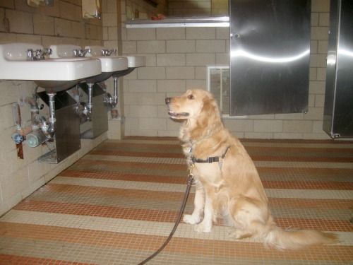 Honey the golden retriever waits in the restroom.