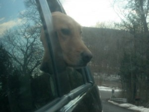 Honey the golden retriever looks out the car window.
