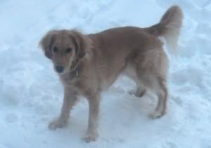 Honey the golden retriever finds the snow delightful.