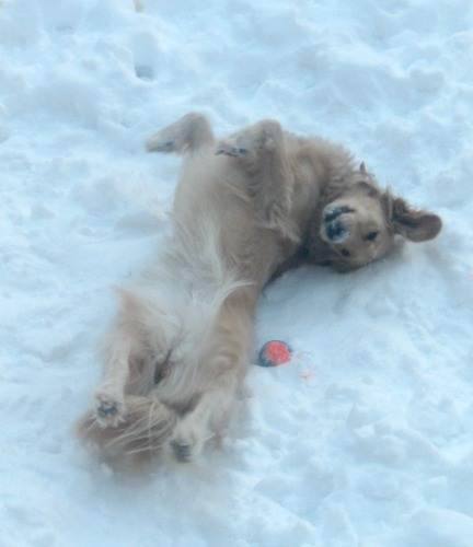 Honey the golden retriever takes a nap in the snow.