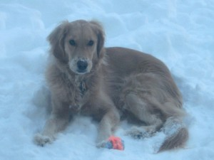Honey the golden retriever delights in sitting in the snow.