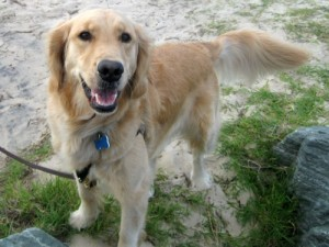 Honey the golden retriever says I think about dogs too much.