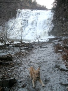 Honey the golden retriever plays at Ithaca Falls.