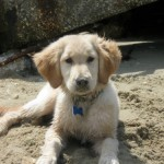 Honey is a golden retriever puppy on the beach.