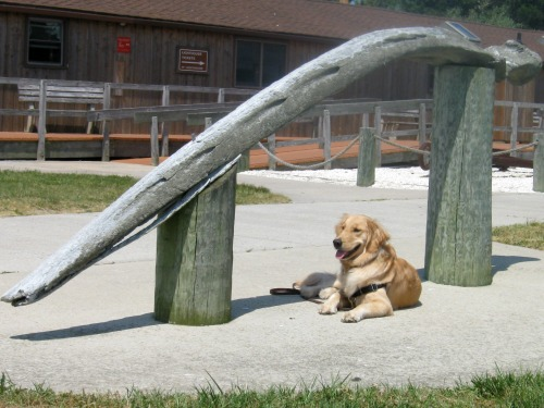 Honey the golden retriever poses with a whale jaw bone.
