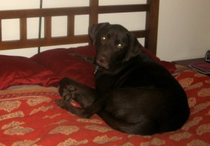 Mr. Handsome the chocolate lab on the bed.