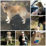 Honey the golden retriever from a puppy to mature dog.