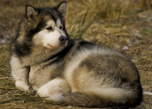 An Alaskan malamute sleeps outdoors.