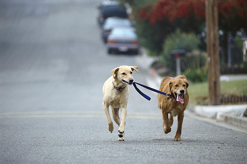 A lab and a golden go for a walk.