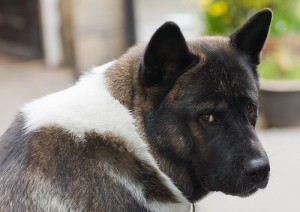Rosie the Akita gives the look.