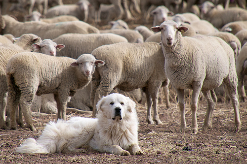 A Great Pyrenees guards a flock of sheep.