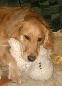 Honey the golden retriever sleeps with her stuffed lamb.