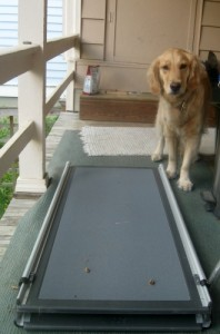 Honey the golden retriever stays away from the ramp with liver treats on it.