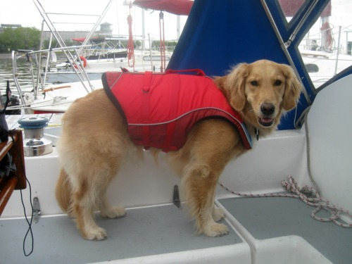 Honey the golden retriever aboard a sail boat.