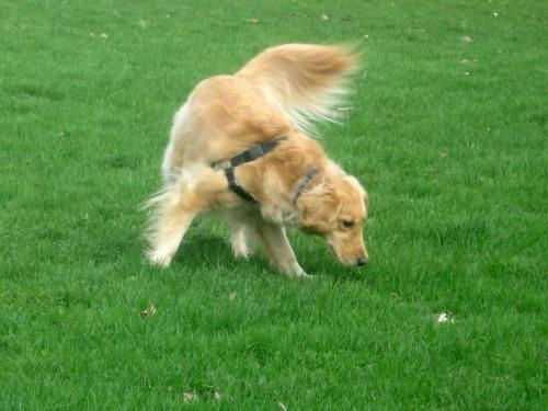 Honey the golden retriever looks for her ball.
