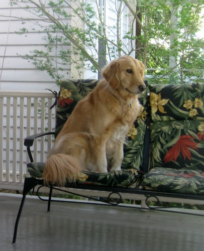 Honey the golden retriever sits on the porch.