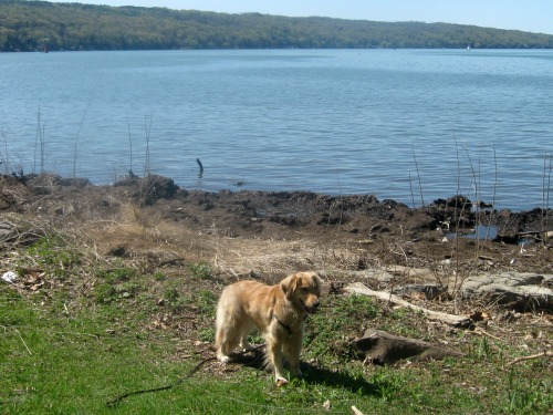 Honey the golden retriever looks pretty by the lake.